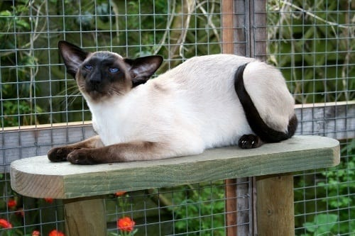 Siamese Cat Breed Profile