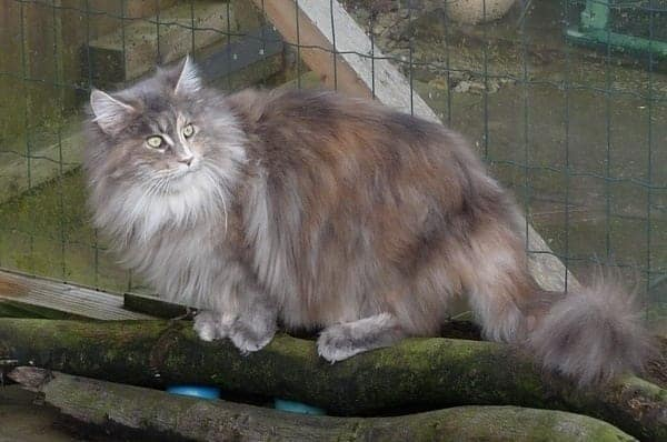 Maine Coon Cat Breed Profile - Cattylicious Cats & Kittens