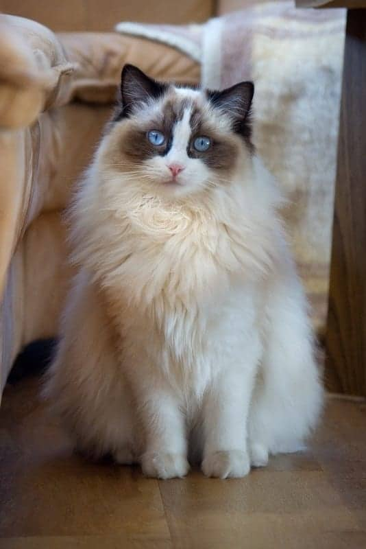 Ragdoll Cat Breed Profile Cattylicious Cats Amp Kittens