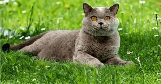 British Shorthair Cat Breed Profile