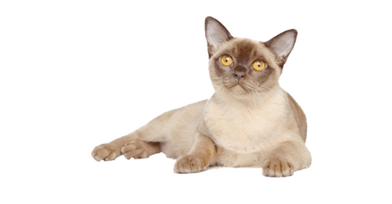 Burmese Cat Breed Profile - Cattylicious Cats & Kittens