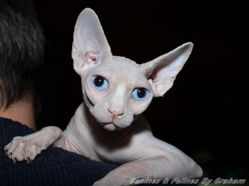 Gremlin Cat For Sale