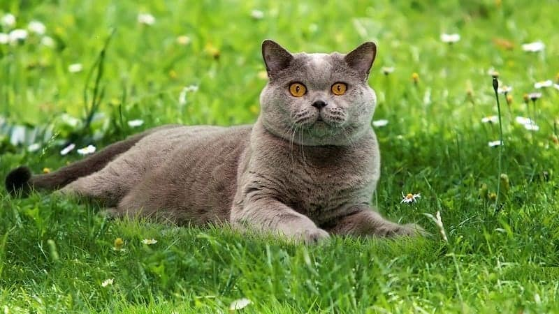 British Shorthair Cat Breed Profile